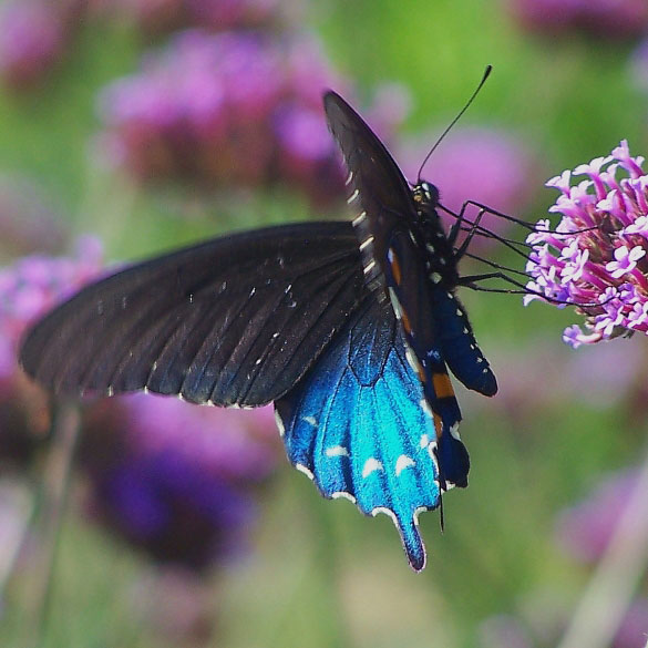 Female Pipevine Swallowtail - Birds and Blooms |Pipevine Swallowtail Butterfly