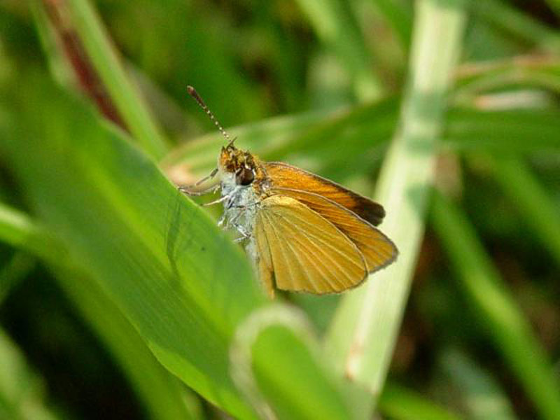 Double-dotted skipper